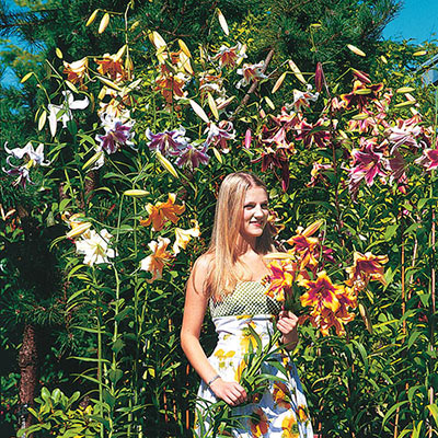 Giant Orienpet Lily Mix