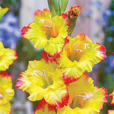 Hybrid Gladiolus Joenna