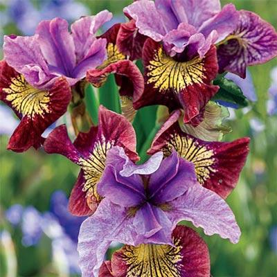 Siberian Iris Miss Apple