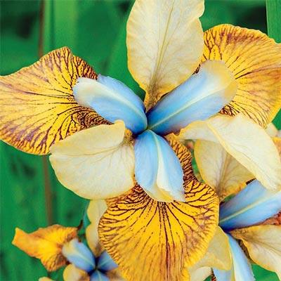 Siberian Iris Flying Fiddles