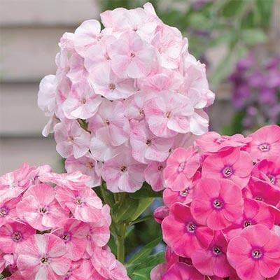 Hardy Tall Phlox Potpourri® Dark Pink Shades
