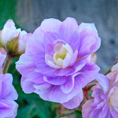 Hardy Geranium Summer Skies