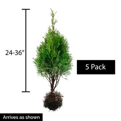 Emerald Green Arborvitae Hedge