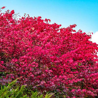 Burning Bush Hedge