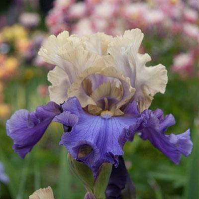 Reblooming German Iris Recurring Delight