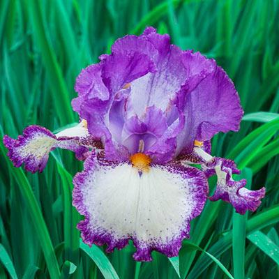 Reblooming German Iris Swept Off My Feet