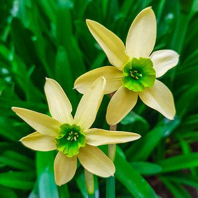 Daffodil Green with Envy™