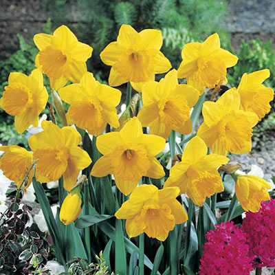 Giant Yellow Daffodils for Naturalizing in growers bag