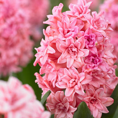Double Hyacinth Spring Beauty