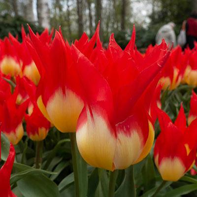 Fosteriana Tulip Flames Mystery