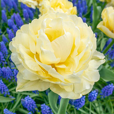 Double Tulip Avant Garde