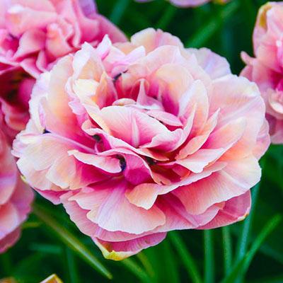 Double Peony Tulip Aveyron