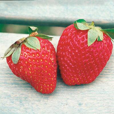 Ozark Beauty Strawberries