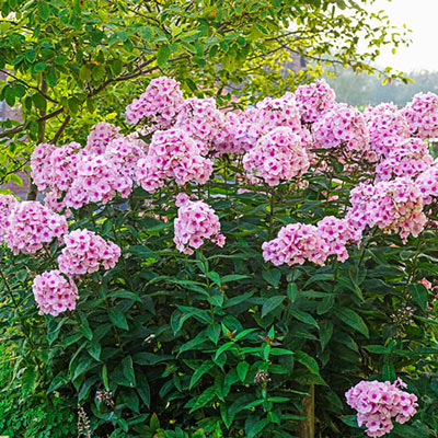 Hardy Tall Phlox Pink