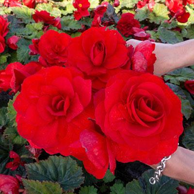Amerihybrid Roseform Red Begonia