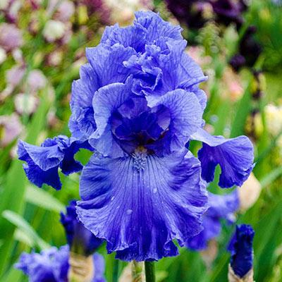 Feed Back Reblooming German Iris