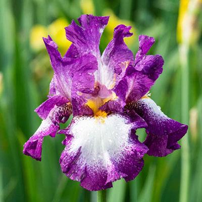 Footloose German Iris