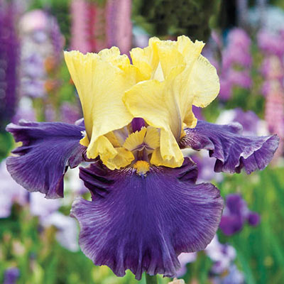 Jurassic Park Reblooming German Iris