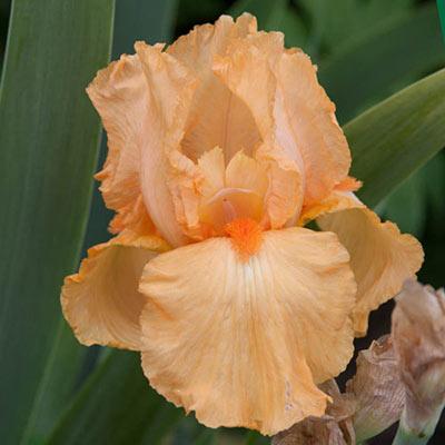 Many Mahalos Reblooming German Iris