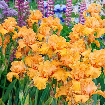 German Iris Edgefield Glow
