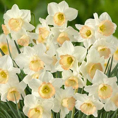 Jonquilla Daffodil Cosmopolitan