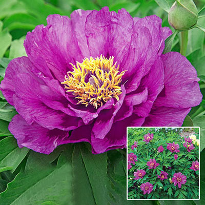 Itoh Peony Morning Lilac