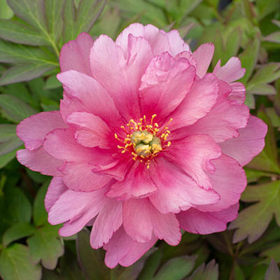 Itoh Peony Pink Double Dandy