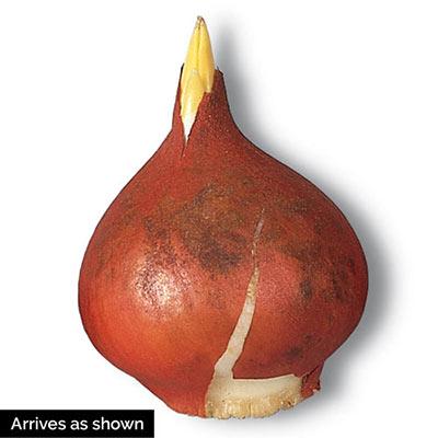 Darwin Hybrid Tulip Blushing Impression