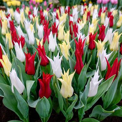 Chic Tulip Mix