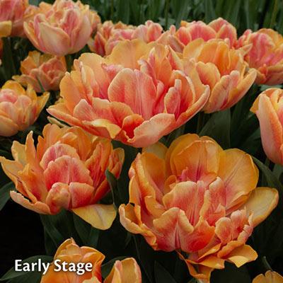 Double Tulip Foxy Foxtrot