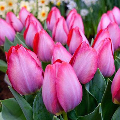 Triumph Tulip Pink Sound