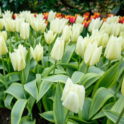 Emperor Tulip Purissima Design