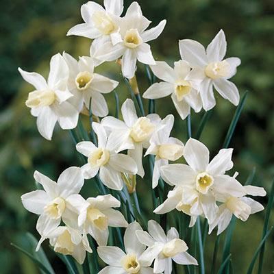 Multi-Flowering Dwarf Daffodil Toto (aka The white Tete-a-Tete Daffodil)