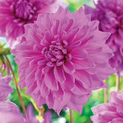 Dahlia Decorative Lavender Perfection