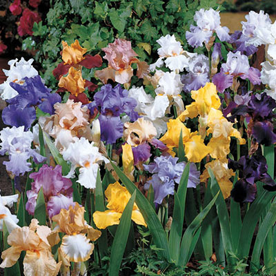 Tall Reblooming Bearded Iris Mixture