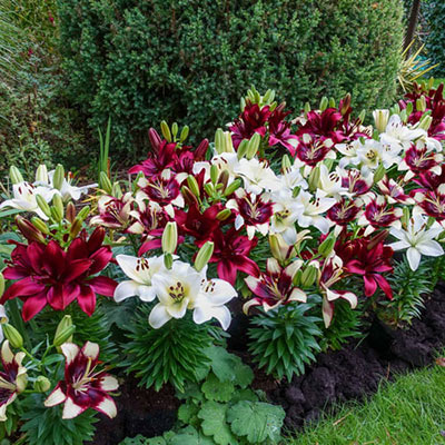 Rubies in the Snow Border Lily Trio