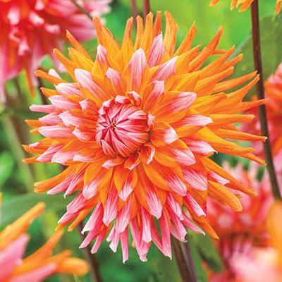 Decorative Dahlia Orange Turmoil