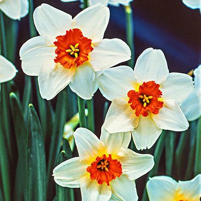 Small Cupped Daffodil Barrett Browning