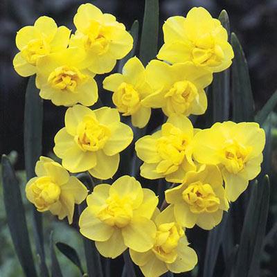 Double Daffodil Yellow Cheerfulness