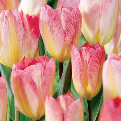 Fosteriana Tulip Flaming Purissima