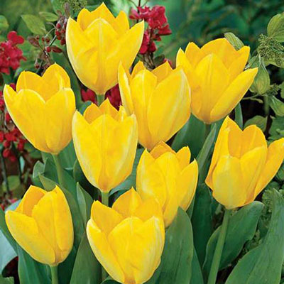 Fosteriana Tulip Yellow Emperor