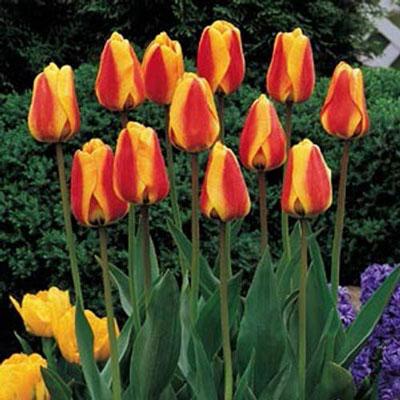 Darwin Hybrid Tulip Apeldoorn's Elite