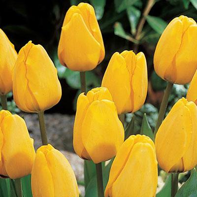 Darwin Hybrid Tulip Golden Apeldoorn