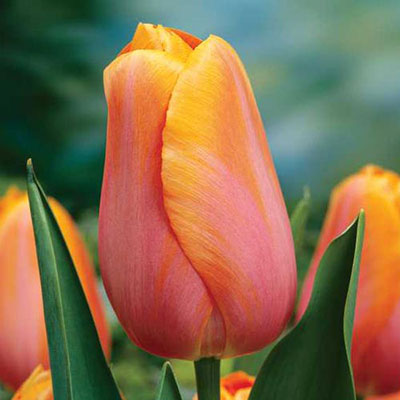 Mayflowering Tulip Dordogne