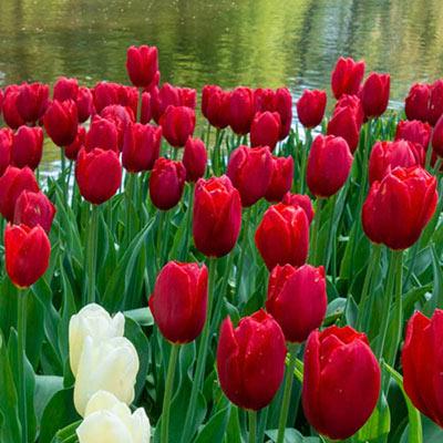 Mayflowering Tulip Kingsblood