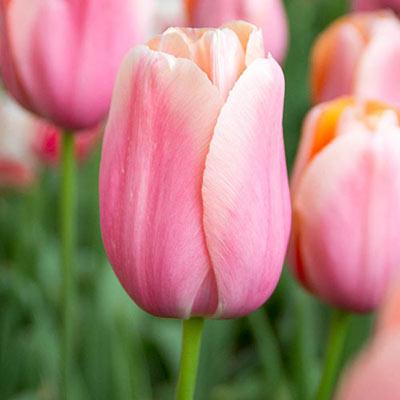 Mayflowering Tulip Menton