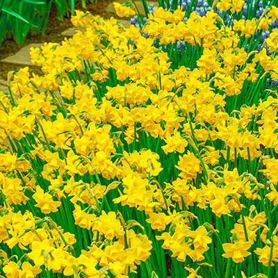 Fragrant Daffodil Jonquil 'Quail'
