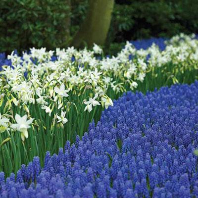 Fragrant Daffodil 'Thalia'