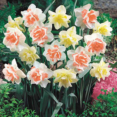 Double Daffodil Duo