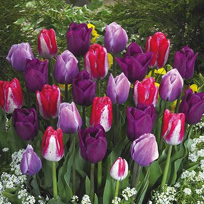Lover's Tulip Blend